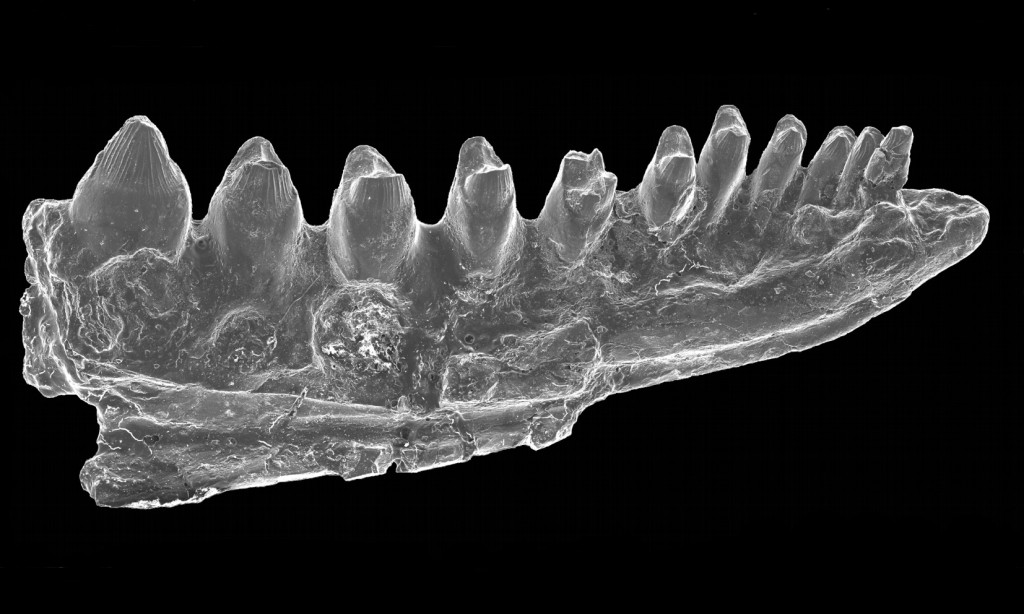 Partial left jaw element (dentary) of Bicuspidon aff. hatzegiensis from Iharkút.