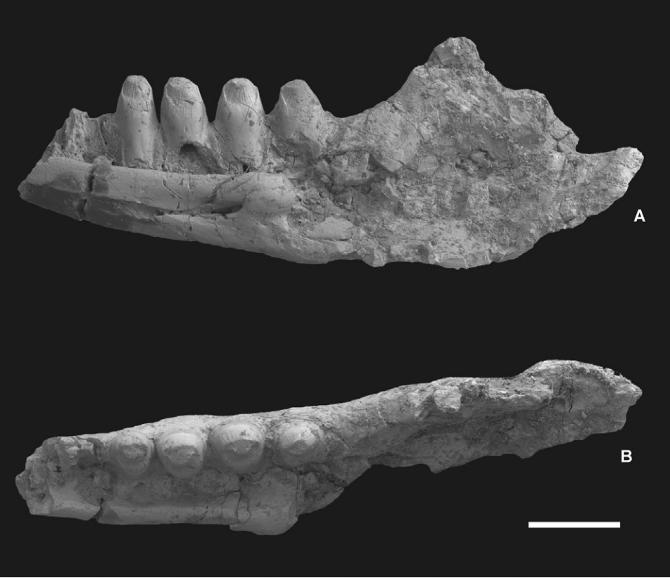Partial right lower jaw of Pelsochamops infrequens (MTM 2006.106.1.) from Iharkút. A, as viewed from the inside; B, as viewed from the chewing surface. Scale bar equals 1 mm.