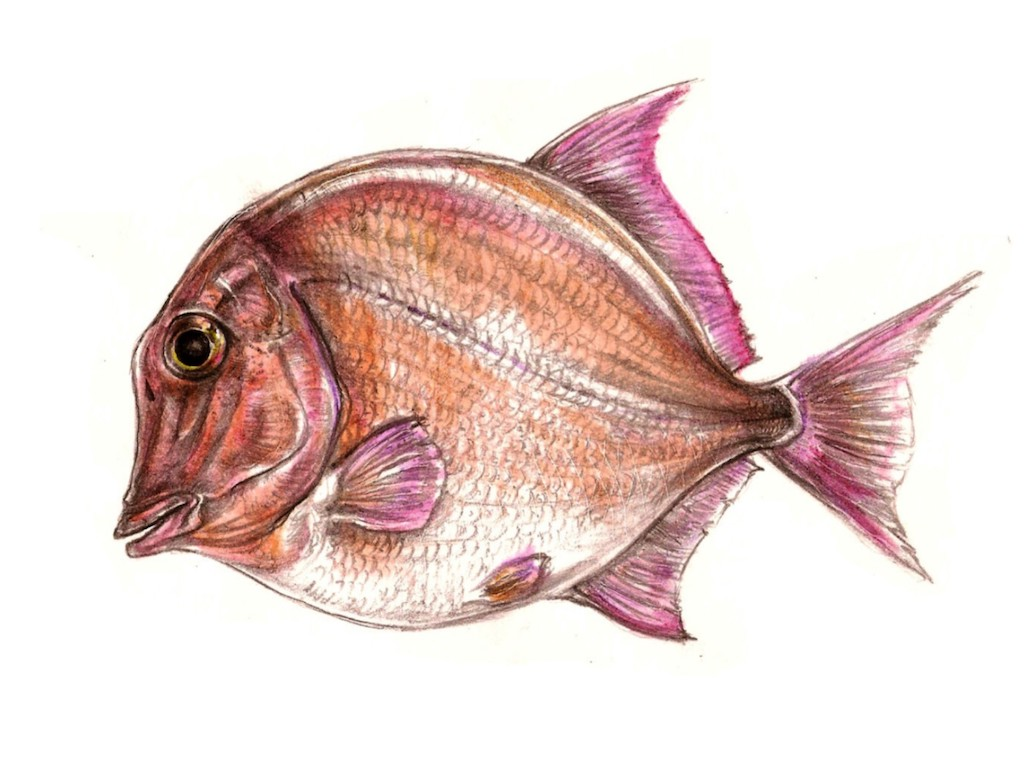 Az iharkúti Pycnodontiformes hal rekonstrukciója (grafika: Pecsics Tibor)