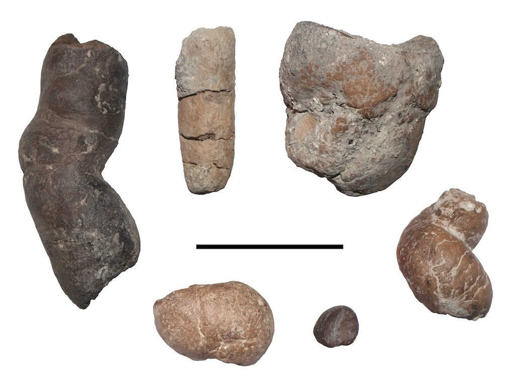Vertebrate coprolites from Iharkút, with different morphologies (scale bar: 5 cm)