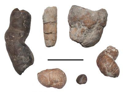 Vertebrate coprolites from Iharkút, with different morphologies (scale bar: 5 cm)
